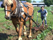 Working Farm Horse